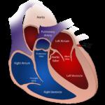 Circulatory System In Hindi